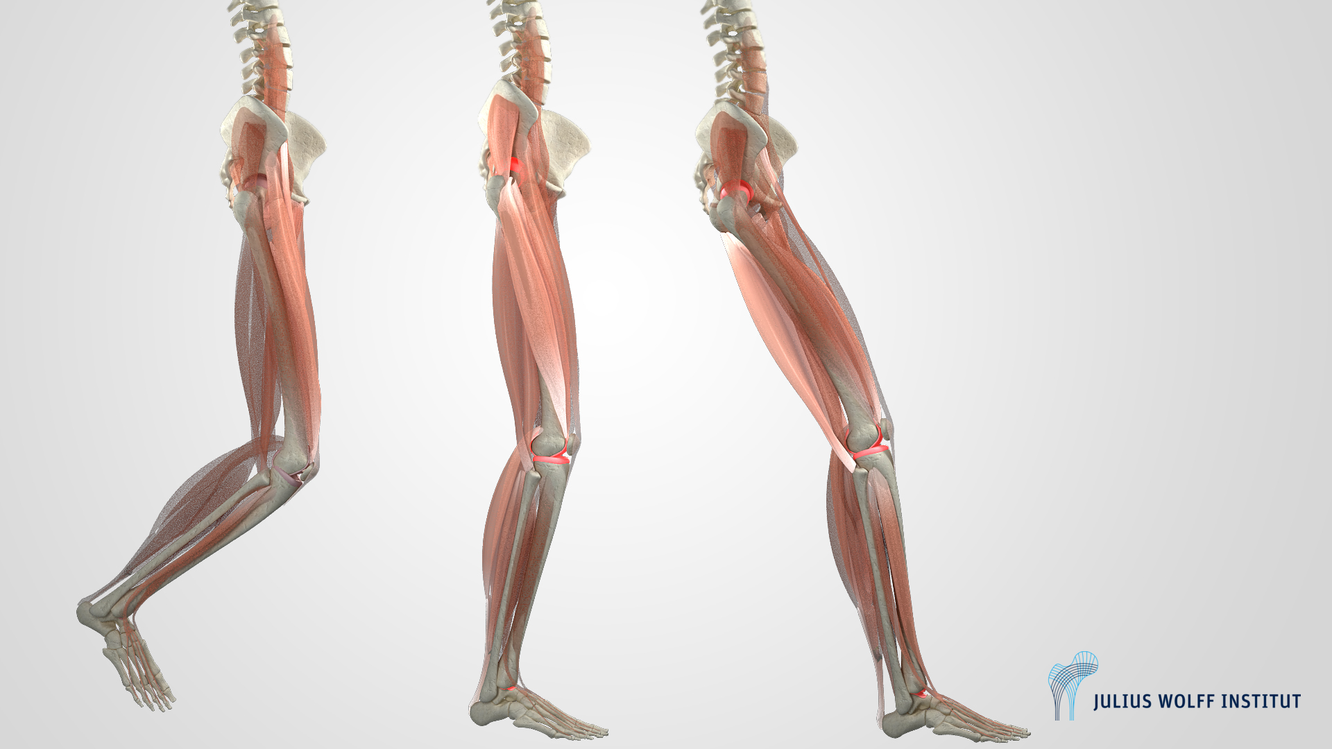 Leg Biomechanics