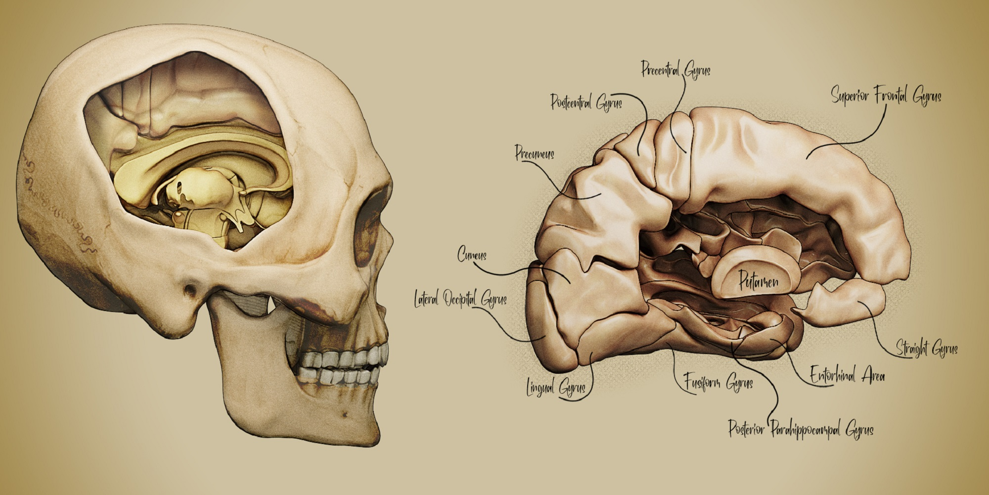 Brain 3D Illustration